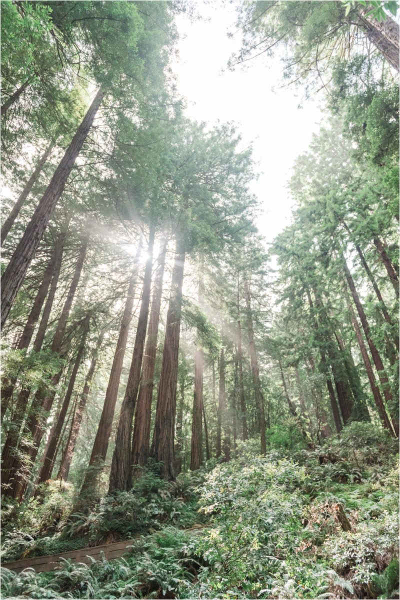 Muir Woods California Redwoods Forrest