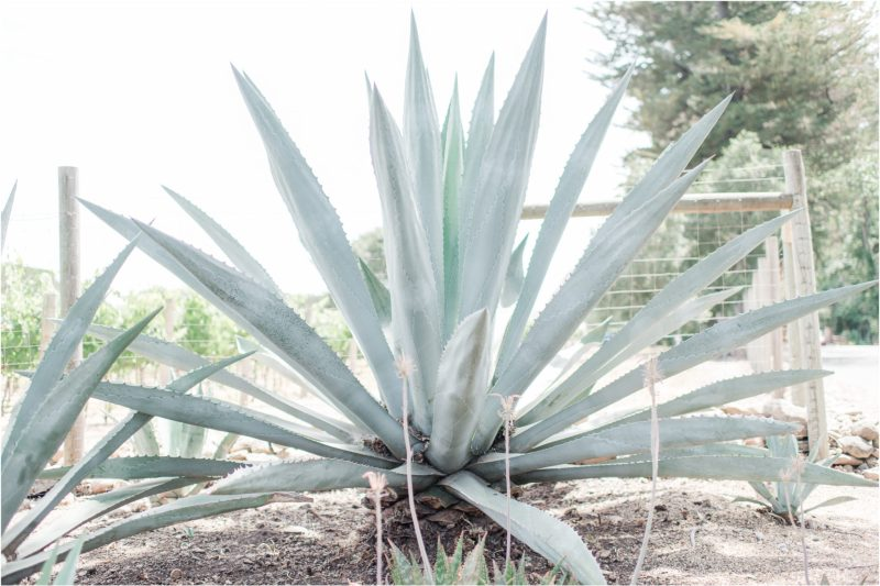 Blue Century Agave Plant