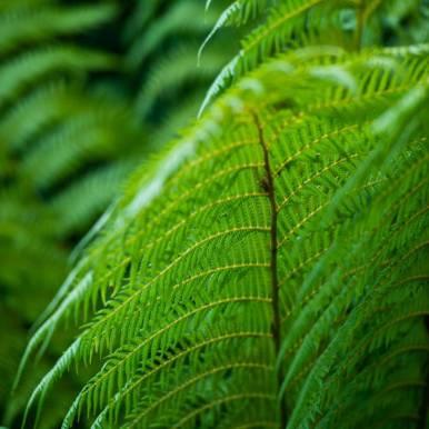 Dicksonia Antartica (Tasmanie)