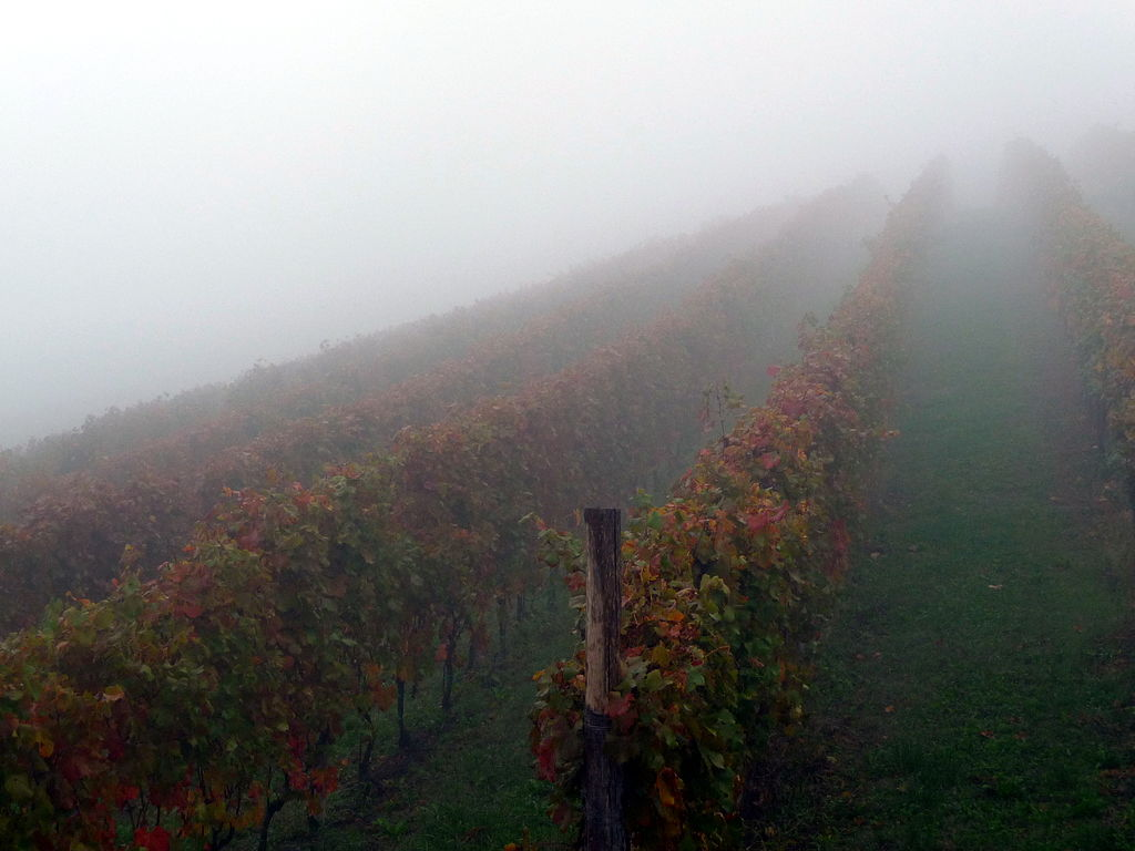 Nebbiolo Vineyard in the early morning fog (Photo credit: http://www.flickr.com/photos/58533294@N00/5062003408)
