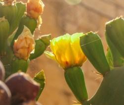 Kaktusträden blommar för att ge frukt till hösten.