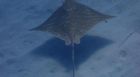Bull Ray in Malta