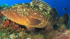 Dusky Grouper in Malta