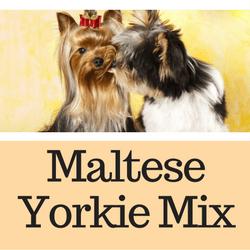 Maltese Yorkie Mix