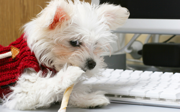 Maltese pup at the computer