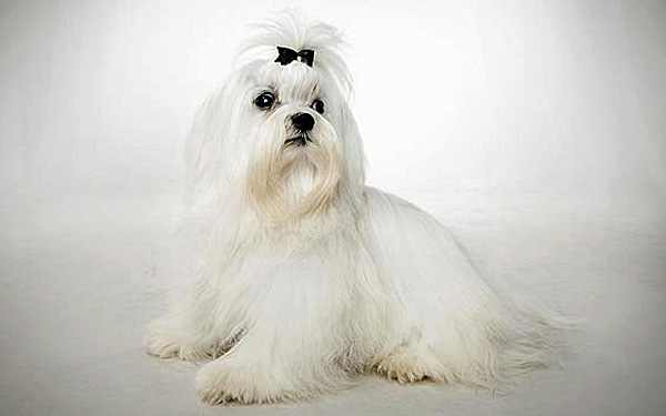 Maltese dog with full coat