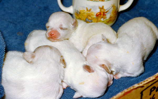 One hour old Maltese puppies