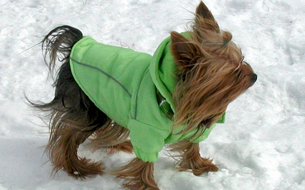 Yorkie wear a green parka