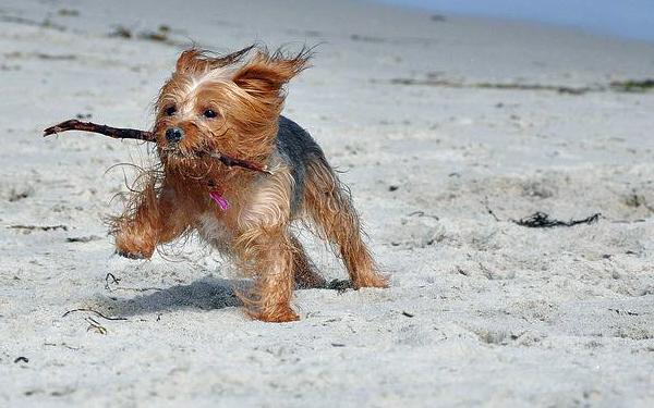 Yorkshire Terrier enjoying the beach