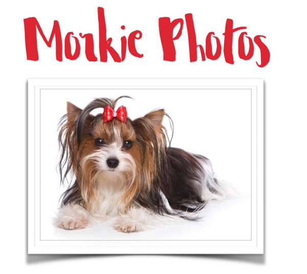 Morkie photos