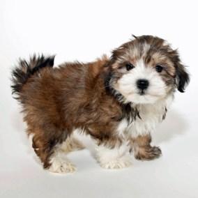 morkie-puppy-morkies-101