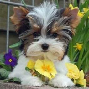 morkie-puppy-morkies-113