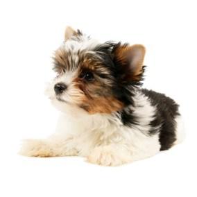 morkie-puppy-morkies-122
