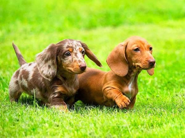 Собака карликовая длинношерстная такса - характеристика ...