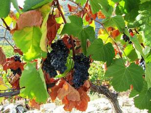 Touriga Nacional still on the vine before the pickers have reached it