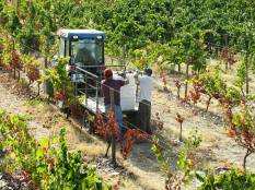 The small tractor drives down each row of vines as the carriers collect and stack the crates