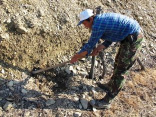 Following after Sr Claro is João Paulo Calçarão who carefully earths up the soil around the freshly grafted vine