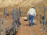 Meanwhile, Sr. Claro moves on to the next falha. It only takes a minute or two to graft each vine, and if all the work is in a single plantation, a man can do as many as 500 in a day. But if he has to walk throughout the vineyard looking for random falhas, he may only graft 200 or 300 in a day.