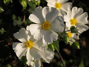 This is one of several varieties of Esteva, some of which are known as Rock Rose, others as Gum Cistus. Its scent is a wonderful blend of floral and herbal aromas, which come through clearly in Graham's ports.