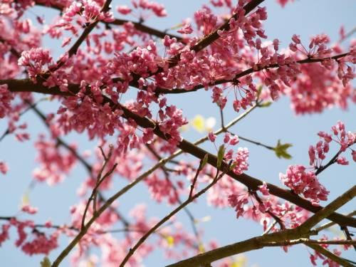 Красивая картинка Цвет сакуры на рабочий стол, красивые ...