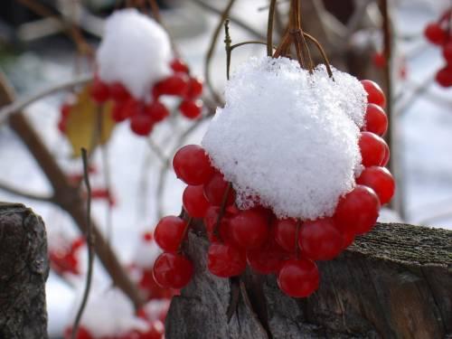Красивая картинка Калина красная в снегу на рабочий стол ...