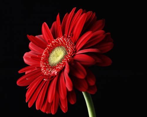 Красивая картинка Красный цветок герберы на рабочий стол ...