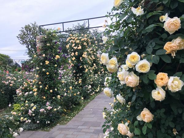 港の見える丘公園のバラ園の見頃と今の開花状況【随時更新】