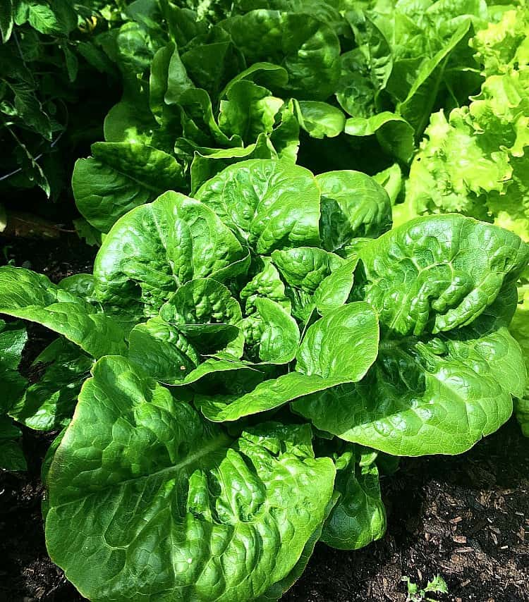 My garden full of butter lettuce, a nice big head with more heads behind.