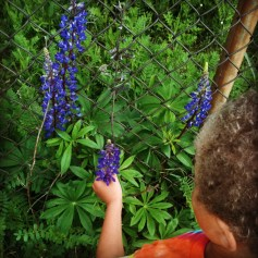 noticing how the lupine feels on his palms