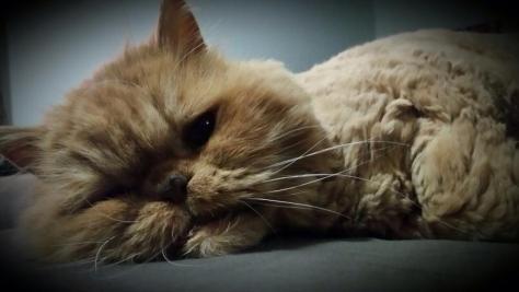 O gato Bóris, meu ex-gato persa