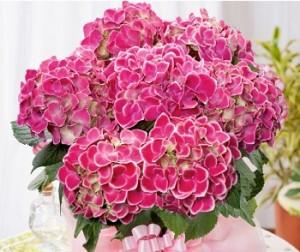 母の日 花 アジサイ・チボリ