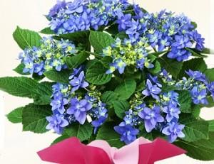 母の日 花 紫陽花 八重咲き ブルー 千代女