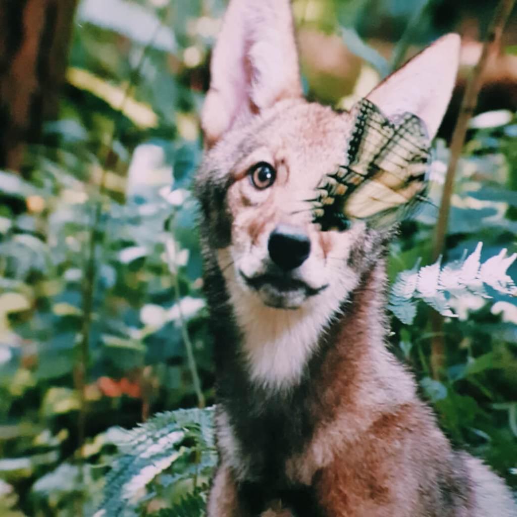 backyard wilderness coyote Mamameteenblog