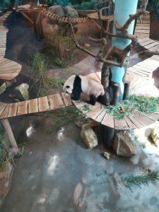 Panda in de dierentuin, mooie dieren
