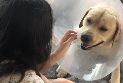 collerette chien