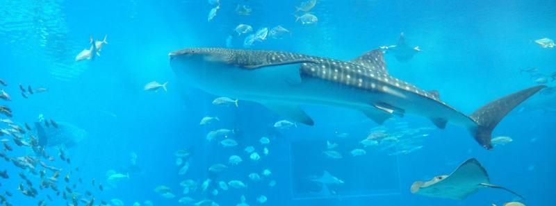 acuario churaumi okinawa