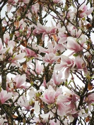 magnolia 15-2