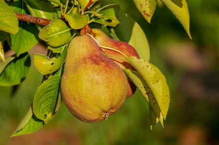 pear-3560106_960_720.jpg
