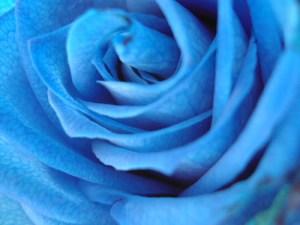 Jacinthe Rose bleue