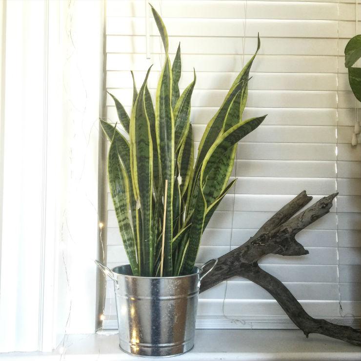 mil-tongue-house-plant-via-mamanushka-blog