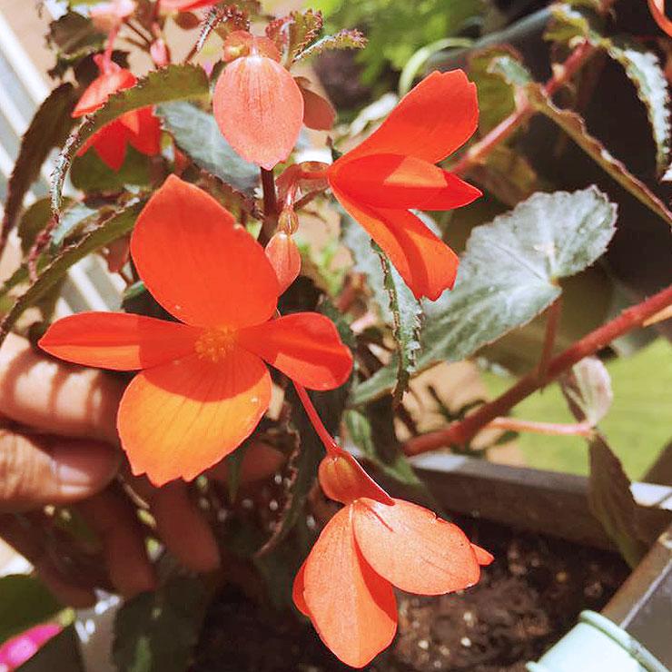 MAMANUSHKA.com || From Plant Killer to Glorious Garden Addict || Easy Plants For Beginners || Urban Garden || Begonia Million Kisses