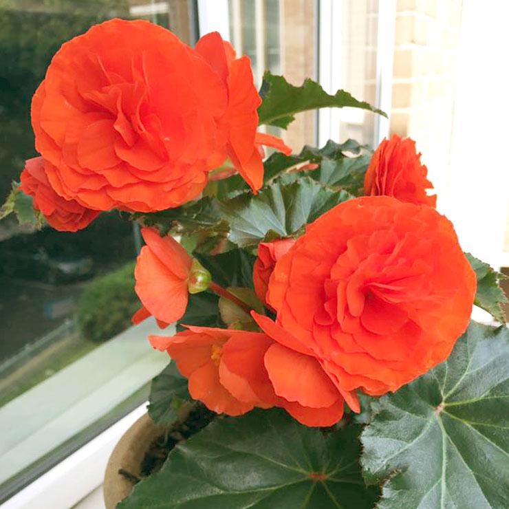 MAMANUSHKA.com    From Plant Killer to Glorious Garden Addict    Easy Plants For Beginners    Urban Garden    Begonia