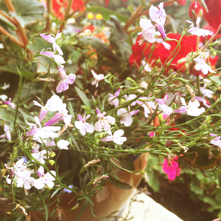 MAMANUSHKA.com || From Plant Killer to Glorious Garden Addict || Easy Plants For Beginners || Urban Garden || Lobelia