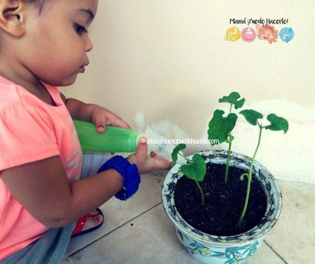 Como germinar un frijol