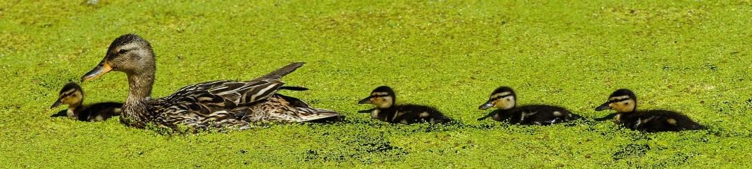 duck-3527585_1920.jpg