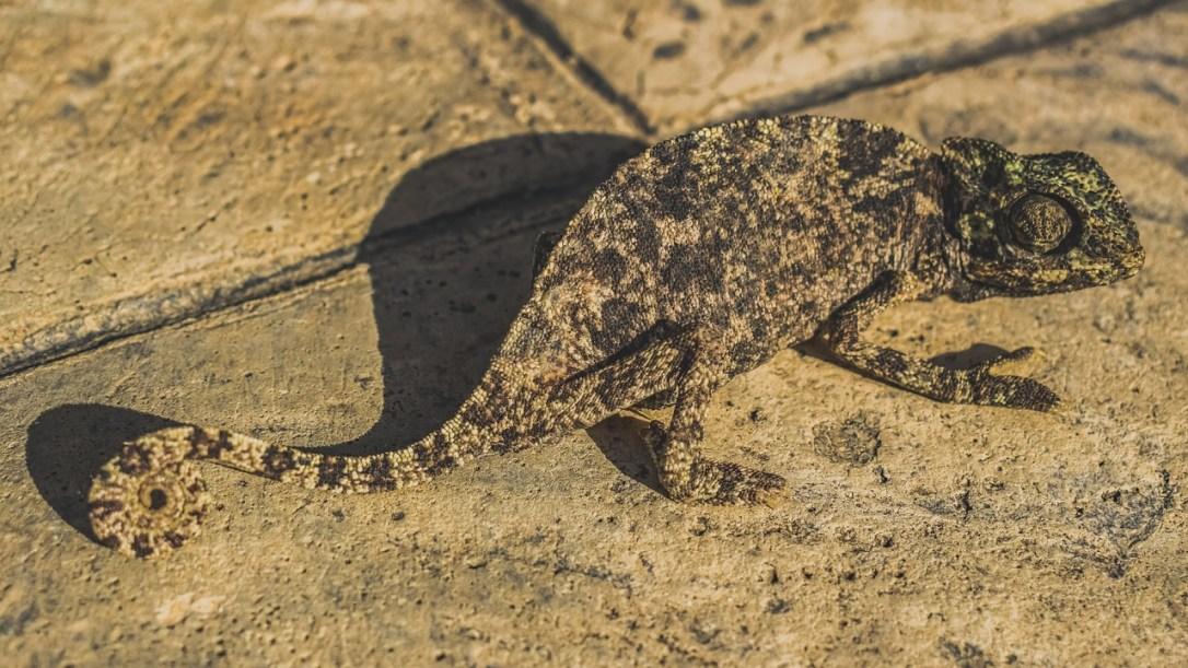 chameleon-3837131_1280.jpg