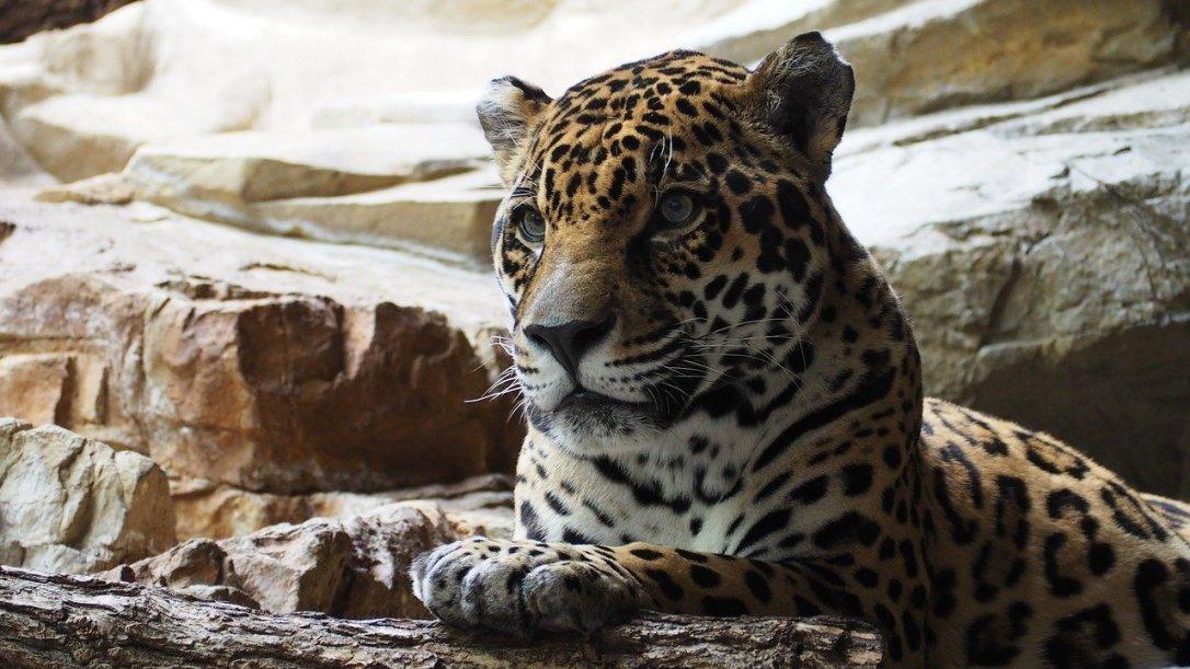 jaguar-1416524_1280