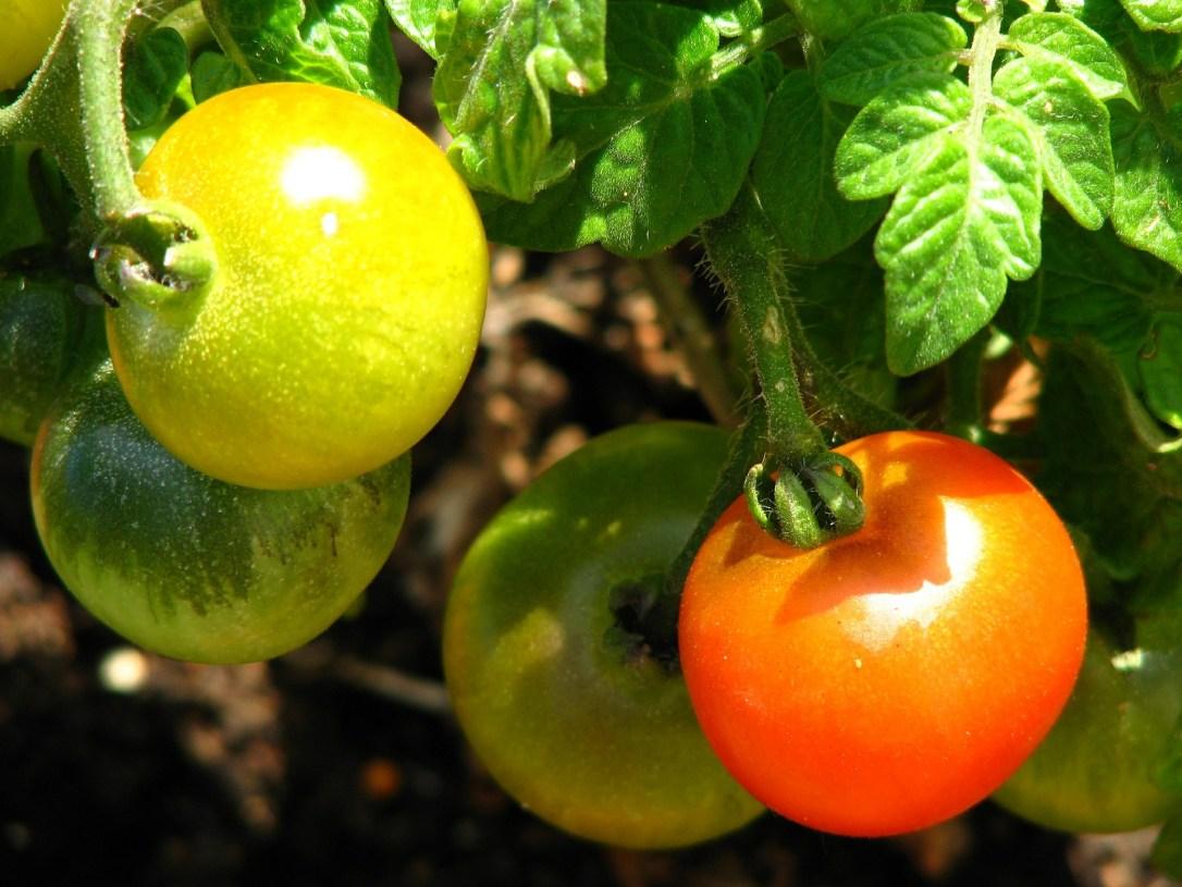tomato-383378_1920