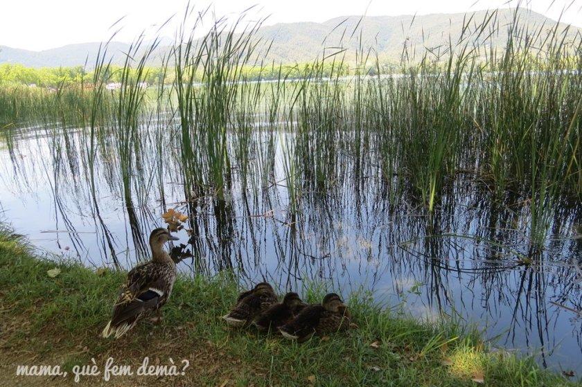 patos en la ribera del lago de Banyoles