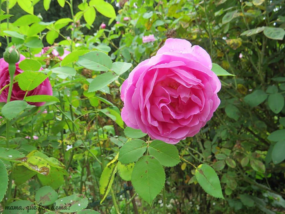 flores del jardín en gengenbach